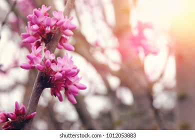 background of spring pink cherry blossoms tree. selective focus