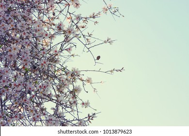 background of spring white cherry blossoms tree. selective focus