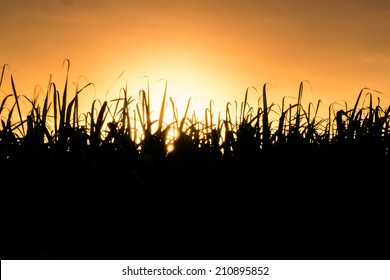 The background of sugarcane field.silhouette.