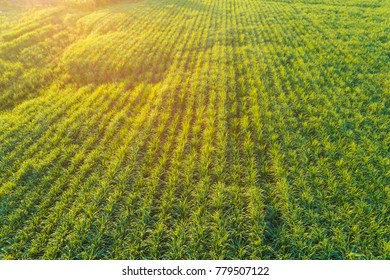 Background of Sugarcane plantation field aerial view with sunset light, Agricultural industrial