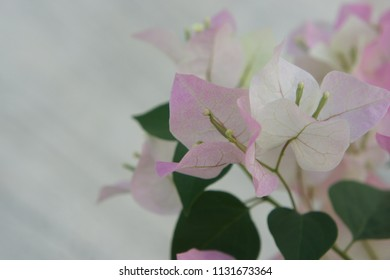 Background of sweetly Bougainvillea flowers in sunny.