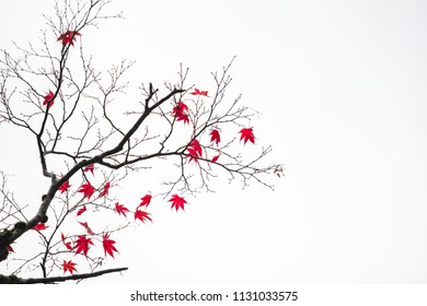 Background texture of autumn leaf (Momiji) in rainy day.