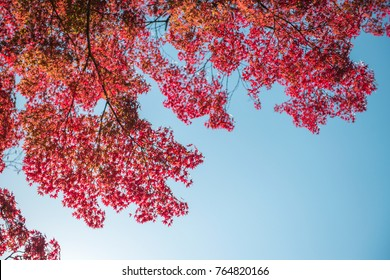 Background texture of autumn leaf (Momiji) with the warm sunlight in Japan.