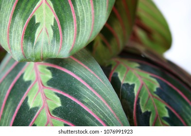 Background texture of beautiful prayer plant leaves foliage against white wall