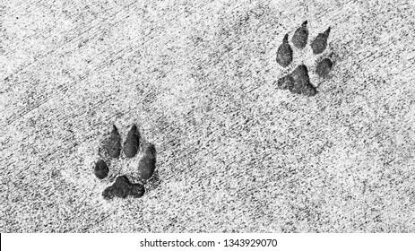 background texture- black and white close up of two animal paw prints embedded in cement with copy space