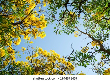 Background texture of the bottom view of the tabebuia trees with the blossom yellow flowers with the blue sky in the center