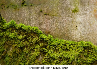 Background texture concrete wall moss