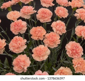 Background or Texture of a Floral Display of Perpetual Flowering Carnations (Dianthus 'Novia')