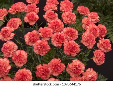 Background or Texture of a Floral Display of Perpetual Flowering Carnations (Dianthus 'Zenit')