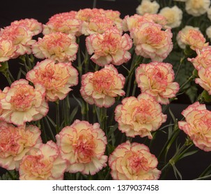 Background or Texture of a Floral Display of Perpetual Flowering Carnations (Dianthus 'Falicon')