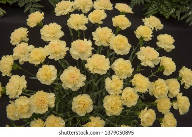 Background or Texture of a Floral Display of Perpetual Flowering Carnations (Dianthus 'Kiro')