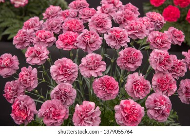 Background or Texture of a Floral Display of Perpetual Flowering Carnations (Dianthus 'Hypnosis')