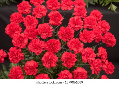 Background or Texture of a Floral Display of Perpetual Flowering Carnations (Dianthus 'Carthago')