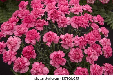 Background or Texture of a Floral Display of Perpetual Flowering Carnations (Dianthus 'Crono Golem')