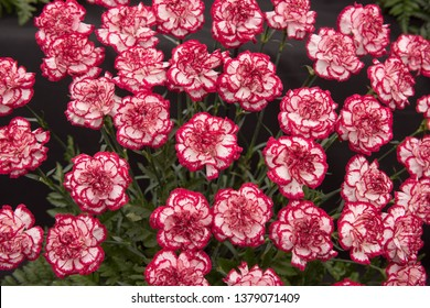 Background or Texture of a Floral Display of Perpetual Flowering Carnations (Dianthus 'Holmes')