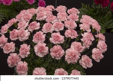 Background or Texture of a Floral Display of Perpetual Flowering Carnations (Dianthus 'Happy Golem')