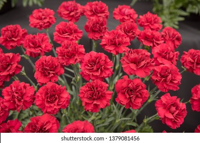 Background or Texture of a Floral Display of Perpetual Flowering Carnations (Dianthus 'Dubia')