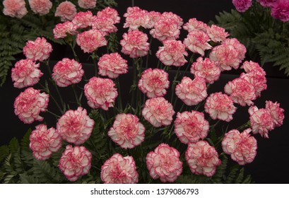 Background or Texture of a Floral Display of Perpetual Flowering Carnations (Dianthus 'Pandora')