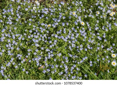 Background or Texture of Forget-me-nots (Myosotis arvensis) in a Field in Rural Gloucestershire, England, UK