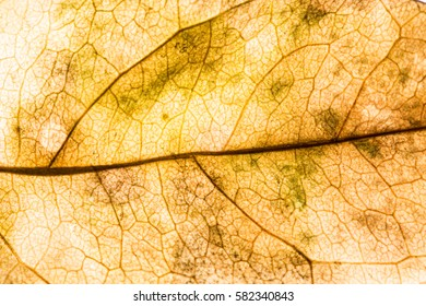 Background texture of leaf
