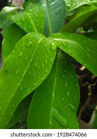 Background and texture made of dewy guava leaves, raindrops, having a mosquito. Green, fresh and close up.