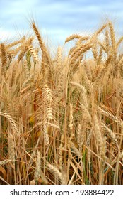 Background or texture: Near view of wheat ripening in the field under rainy sky before harvesting.