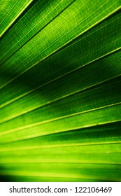 Background texture of a palm leaf with sun shining from behind the leaf. Shallow depth of field