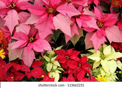 Background texture photo of Poinsettia flowers ( Euphorbia Pulcherrima ), Bloom in Yellow, Pink, Red Colors. Popular houseplant to decorate during Christmas festival