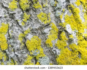 Background and texture of pine bark with yellow lichens Xanthoria parietina