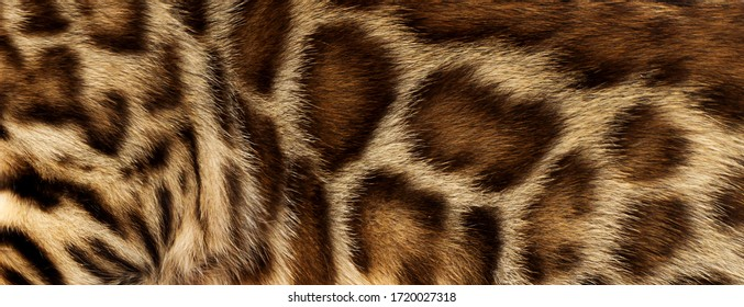 background texture of spotted wool bengal cat