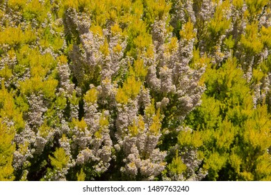 Background or Texture of Spring Flowering White Flowers of Tree Heath 'Alberts Gold' (Erica arborea var. alpina f.aureifolia) in a Rockery  with a Yew Hedge Background in Rural Devon, England, UK