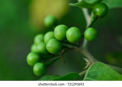 Background texture of turkey berry (eggplant)