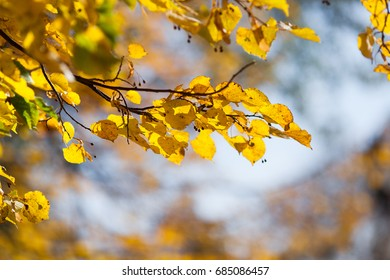 background texture of yellow leaves. Autumn leaf background