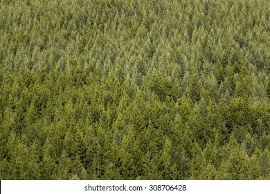 Background with thick spruce tree forest