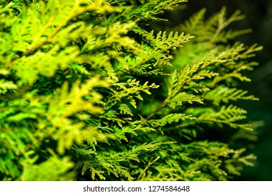 Background from Thuja branches. Thuja branches in the dark. The green branches . green nature background. Wallpaper. Texture.Thuja branches.
