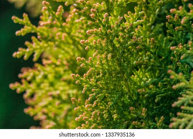Background Thuja evergreen tree leaves. Thuja branches close up. Green nature background or Wallpaper Texture.