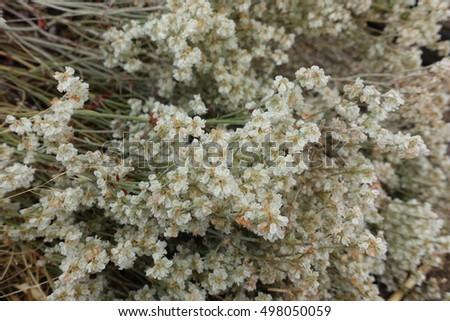 Background Tiny White Desert Flowers Stock Photo Edit Now