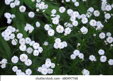 Background with tiny white flowers (gypsophila paniculata) can be used as summer or spring background