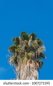 Background with the top of a Washingtonia fan palm tree set against a bright blue sky, copy space, vertical aspect