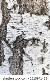 Background of tree bark, wood texture, birch bark, tree bark