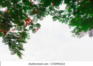 background tree frame on stem with green leaf of Delonix regia with sky  and copy space