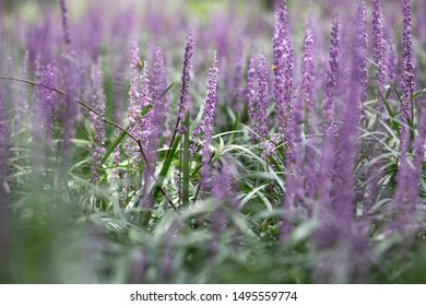 Background of violet Broadleaf Liriope a flower in garden.