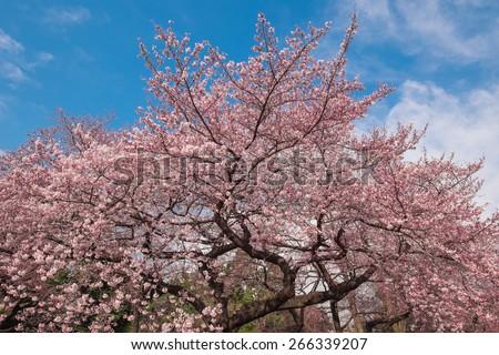 Background Wallpaper Cherry Blossom Tree Sakura Stock Photo Edit