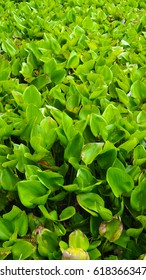 Background of water hyacinth leaves in lake.
