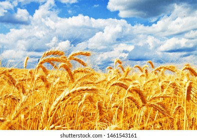 Background of wheat field with ripening golden ears and blue sky