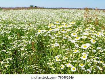 Background from white daisywheel in field on background blue sky