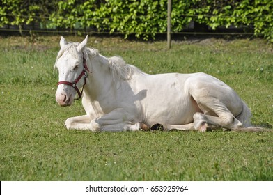background of a white horse lay dawn on a green field in a backyard in summer season.
