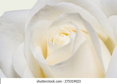 Background of white roses in close-up