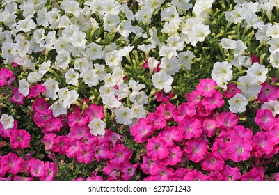 background of white and vibrant pink petunia