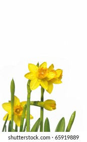 Background with yellow daffodils.